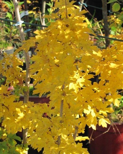 Atrakcyjne jesienne przebarwienia liści