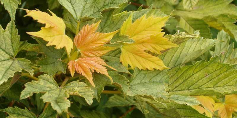 Klon jawor - Acer pseudoplatanus
