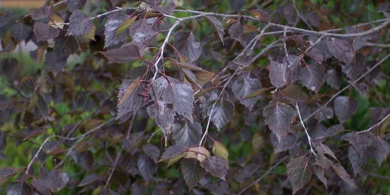 Betula_pendula_-_Purpurea.jpg
