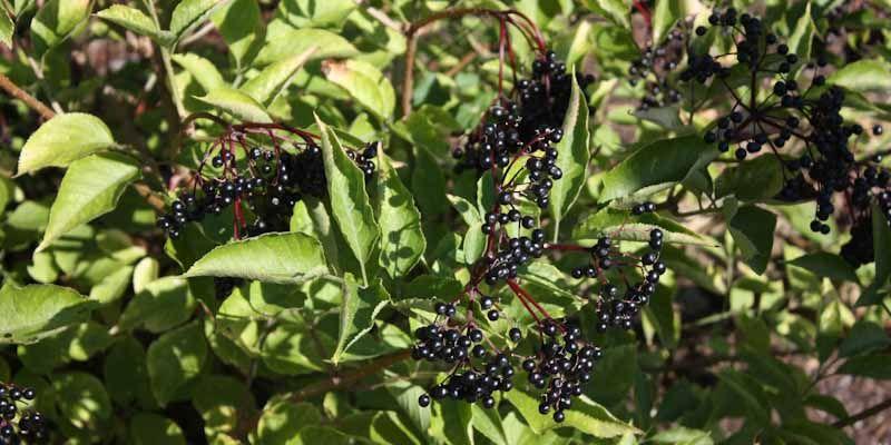 Bez czarny - owoce i przetwory