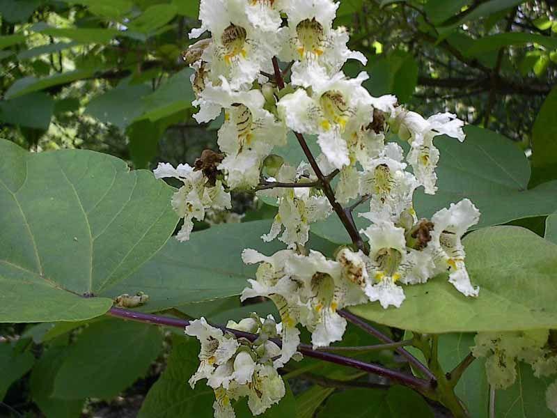 Catalpa_bignonioides_-_Surmia_zwyczajna_kwiat.jpg
