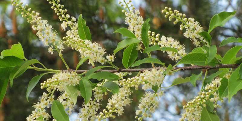 Czeremcha - Prunus