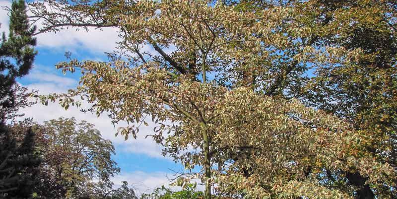 Dereń skrętolistny - Cornus alternifolia