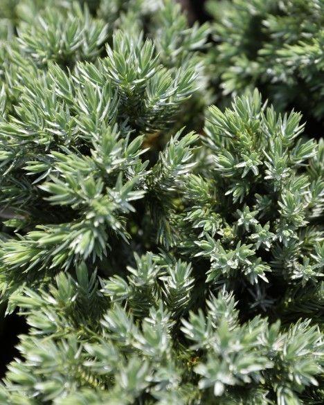 Krzewy zimozielone