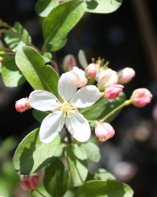 Jabłoń japońska