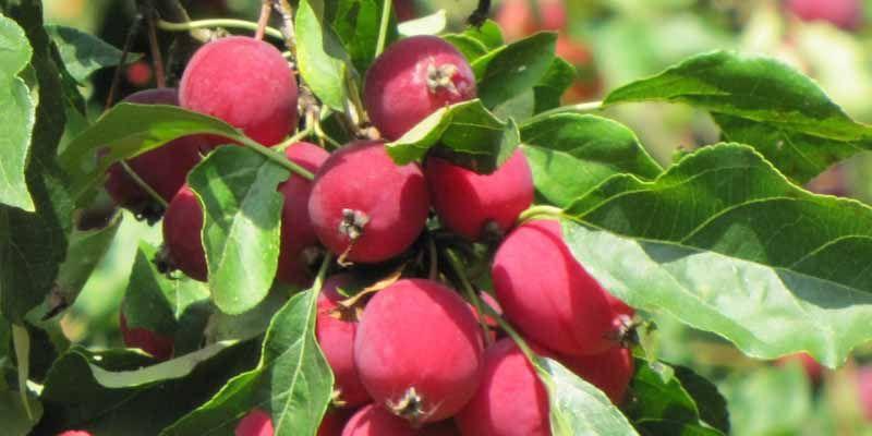 Jabłoń - Malus