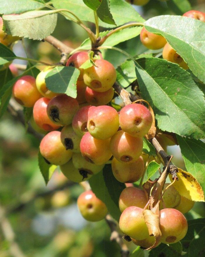 Jabłoń jagodowa