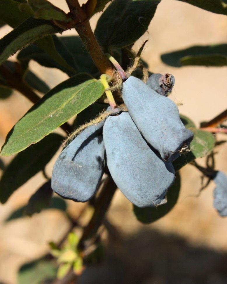 Krzewy owocujące do sadu i na działkę