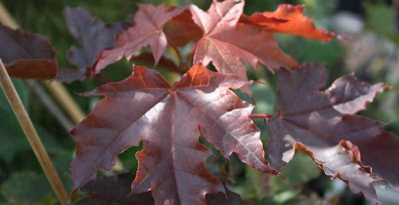Klon pospolity - Acer platanoides