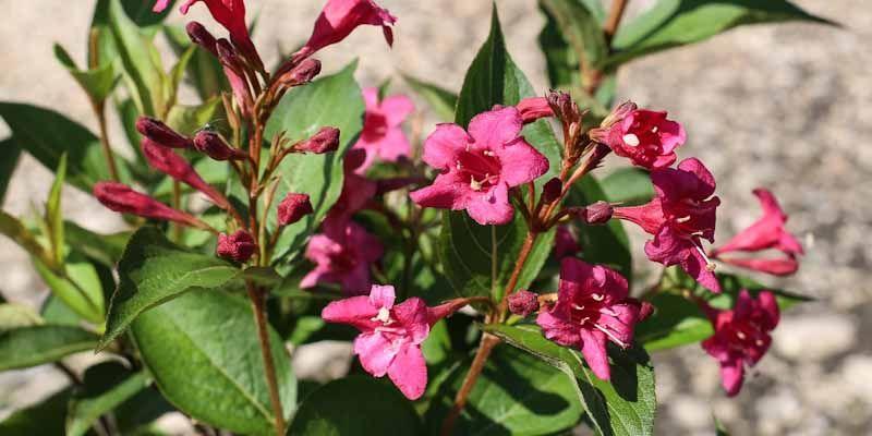 Krzewuszki - subtelne kwiaty