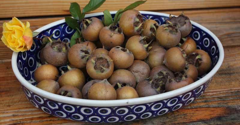 Nieszpułki - najstarsze owoce