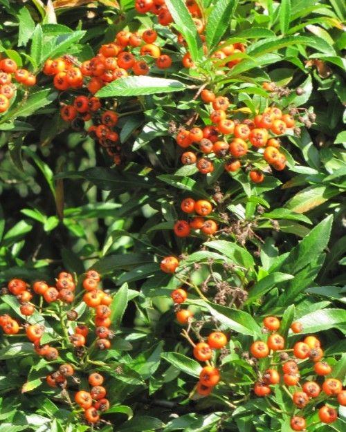 Żywopłoty liściaste
