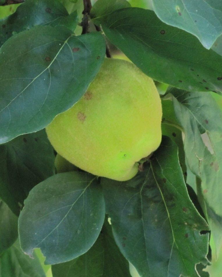 Drzewa owocowe do sadu i na działkę