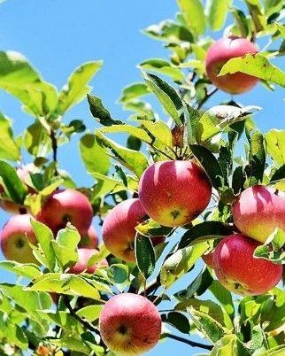 Jabłonie rajskie