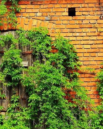 Pnącza na ogrodzenia, pergole, ściany