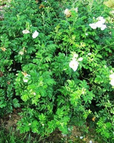 Róże pomarszczone