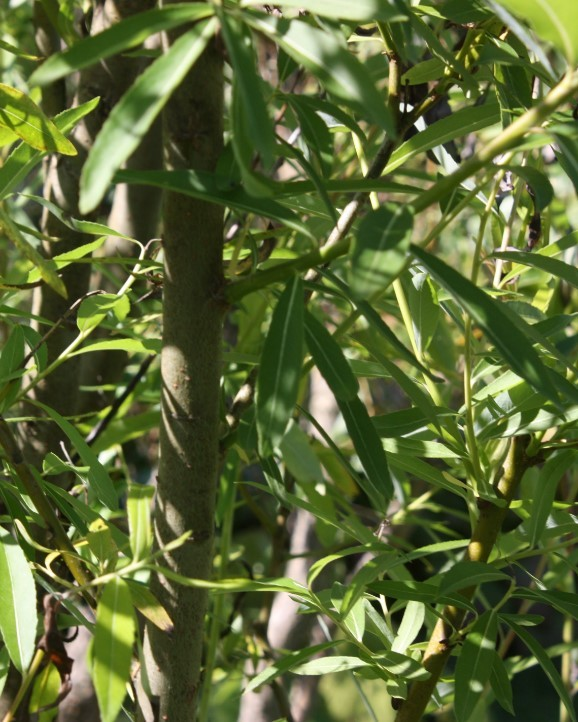 Rośliny energetyczne - biomasa