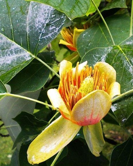 Tulipanowiec - Liriodendron