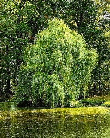 Wierzba - Salix
