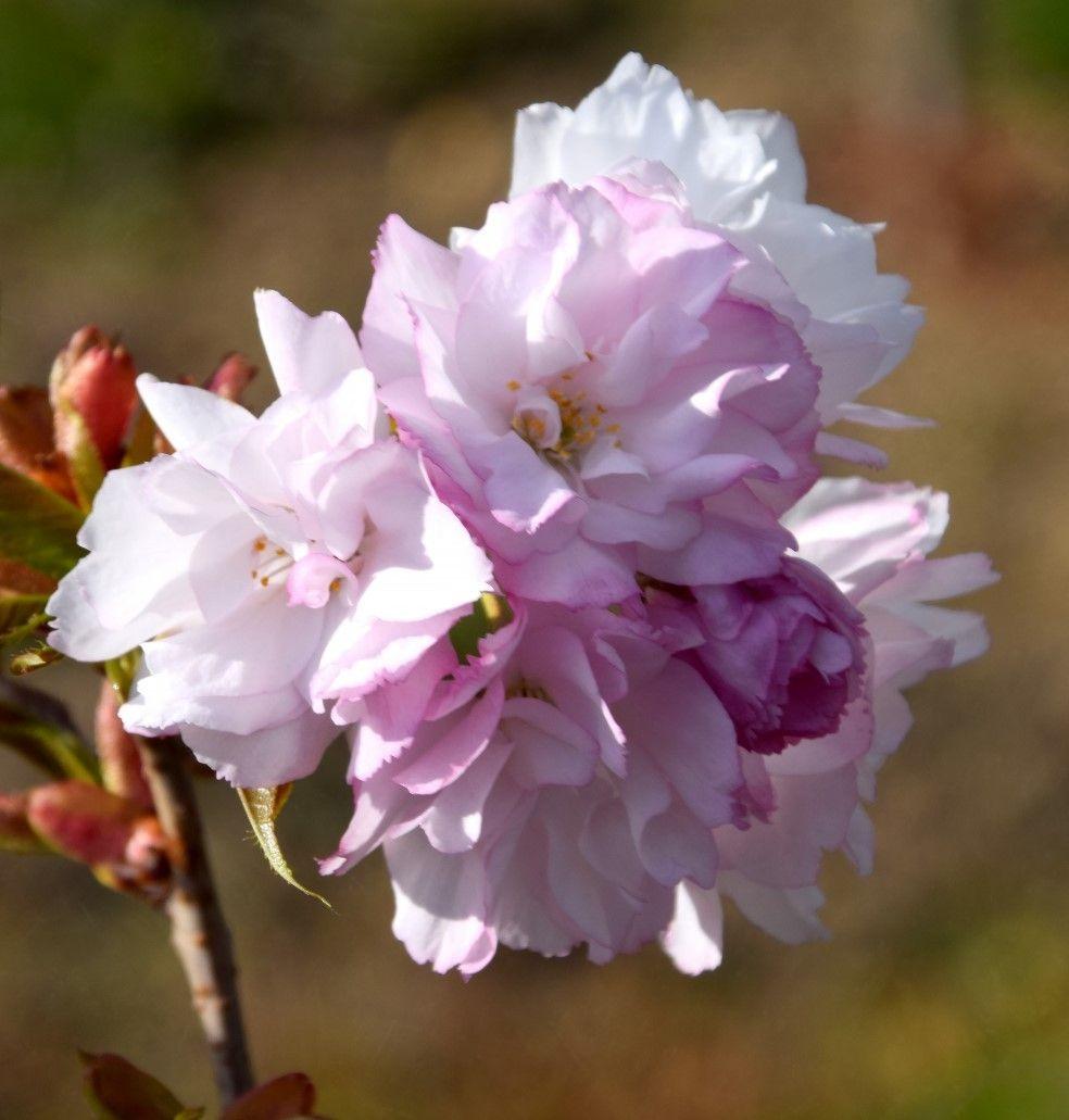 Wiśnia piłkowana (japońska) - Prunus serrulata