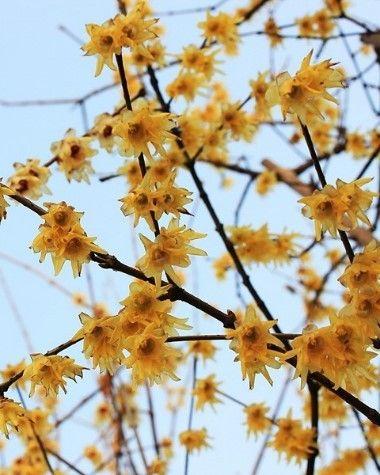Zimokwiat - Chimonanthus