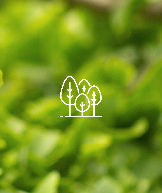 Jeżyna tybetańska 'Silver Fern' (łac. Rubus thibetanus)