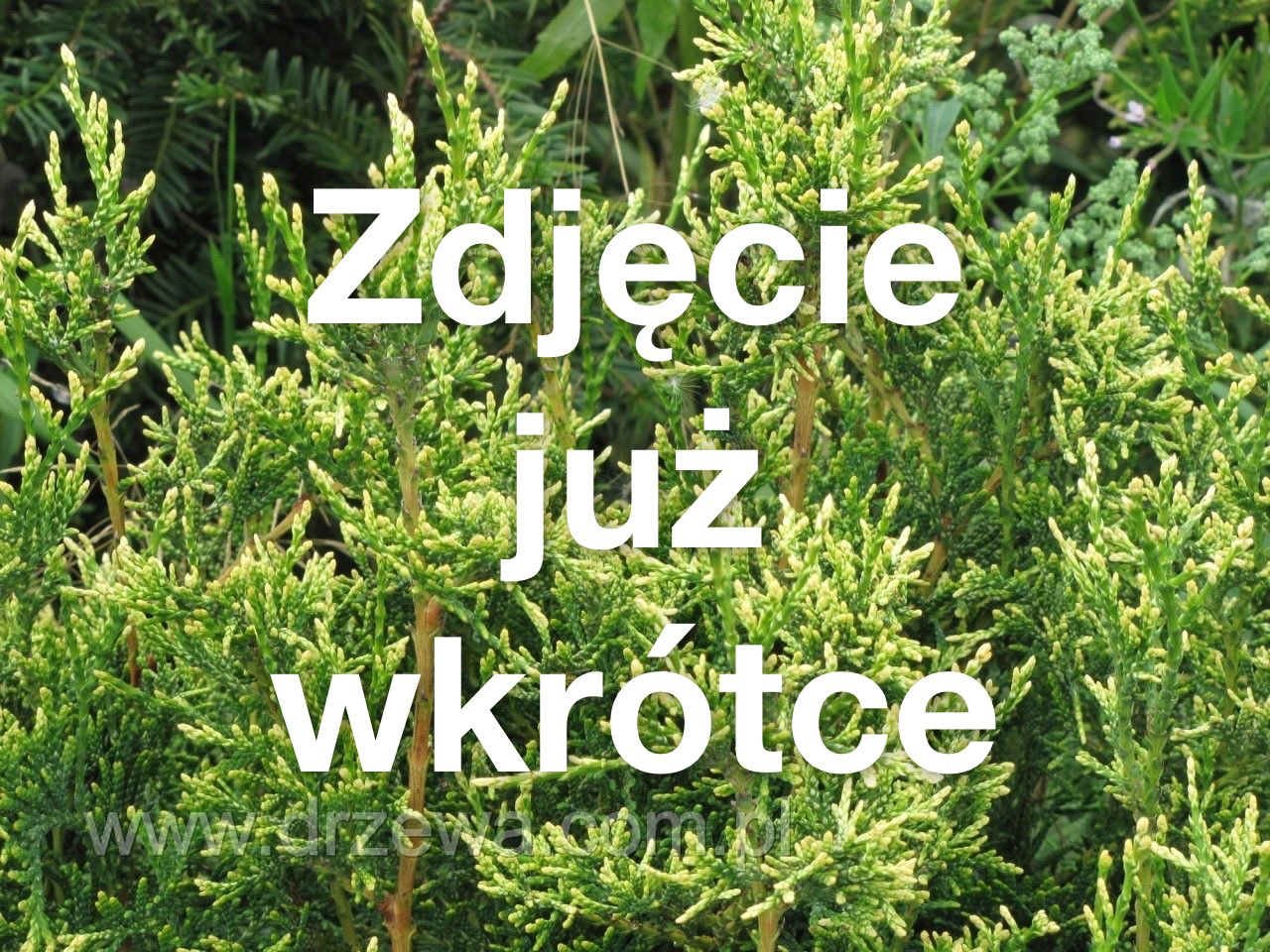 Złotokap Waterera 'Alford's Weeping'