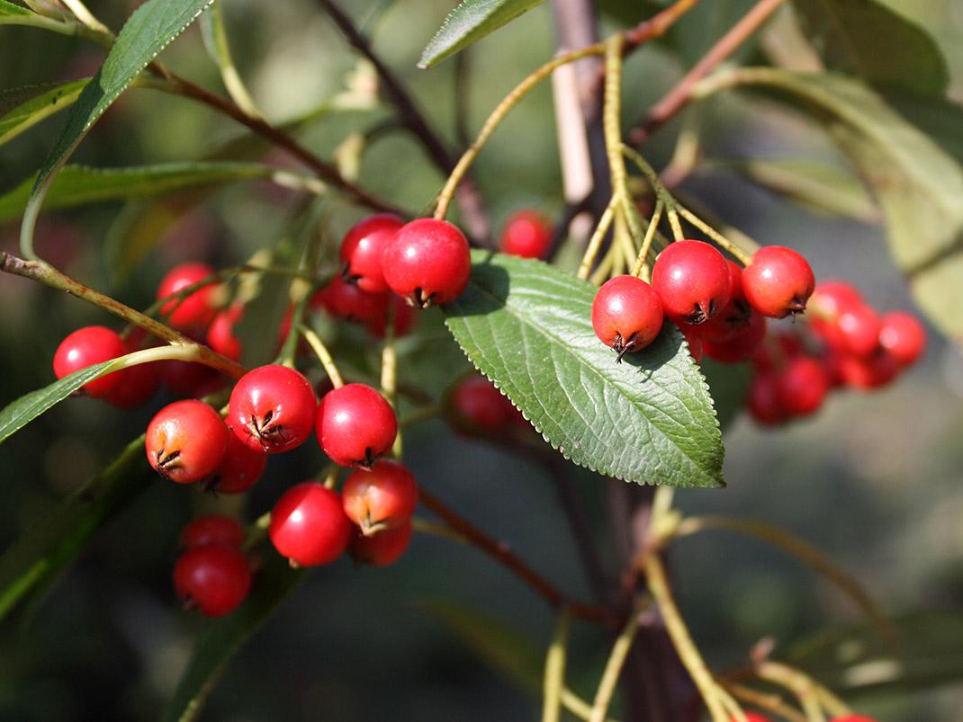 aronia czerwona owoce