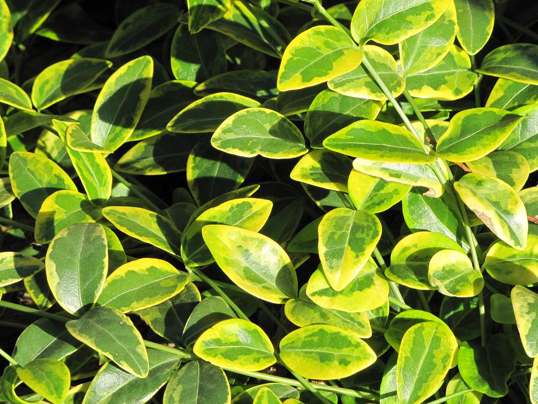 barwinek pospolity aureomarginata liście