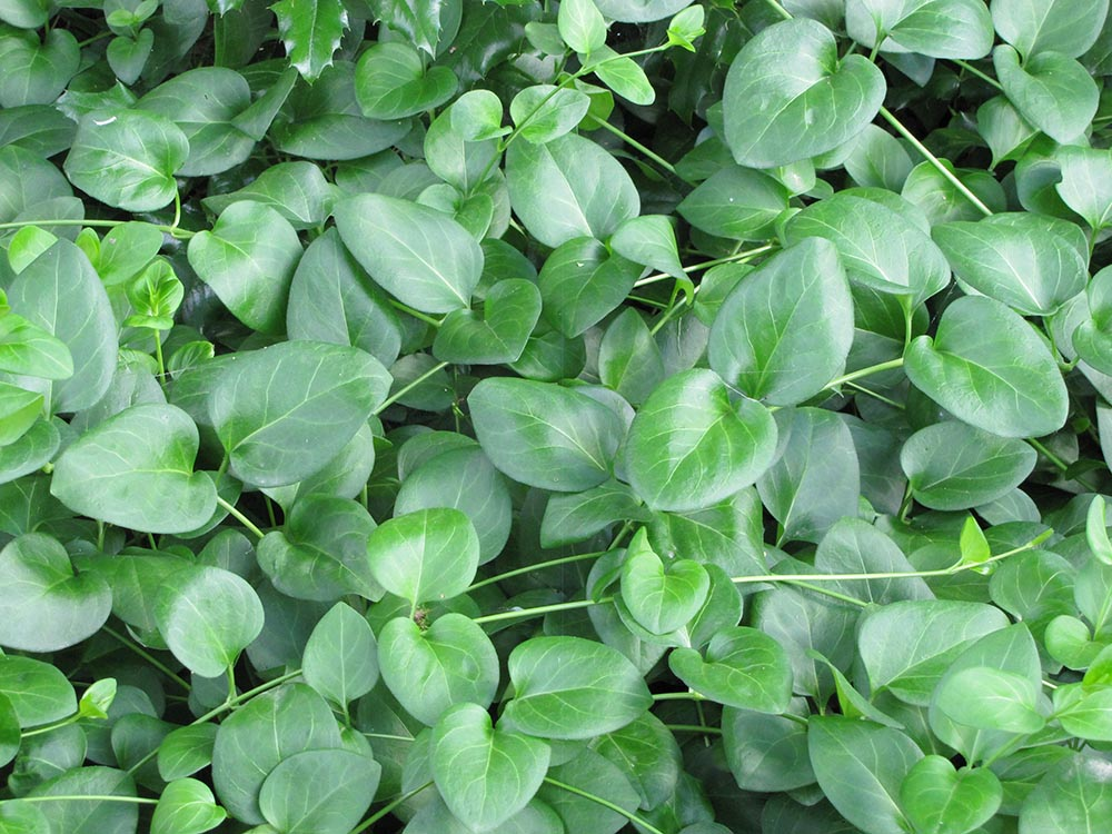 barwinek większy liście