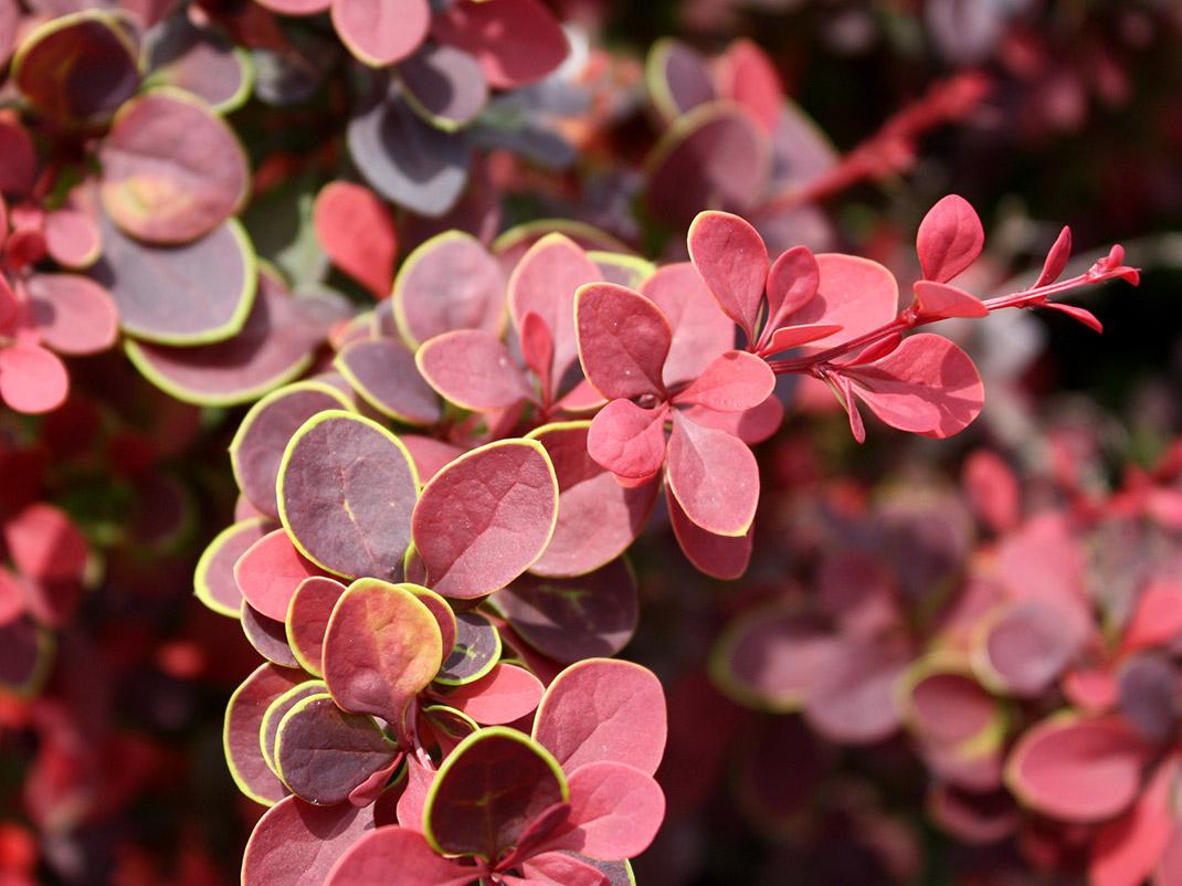 berberys thunberga atropurpurea liście
