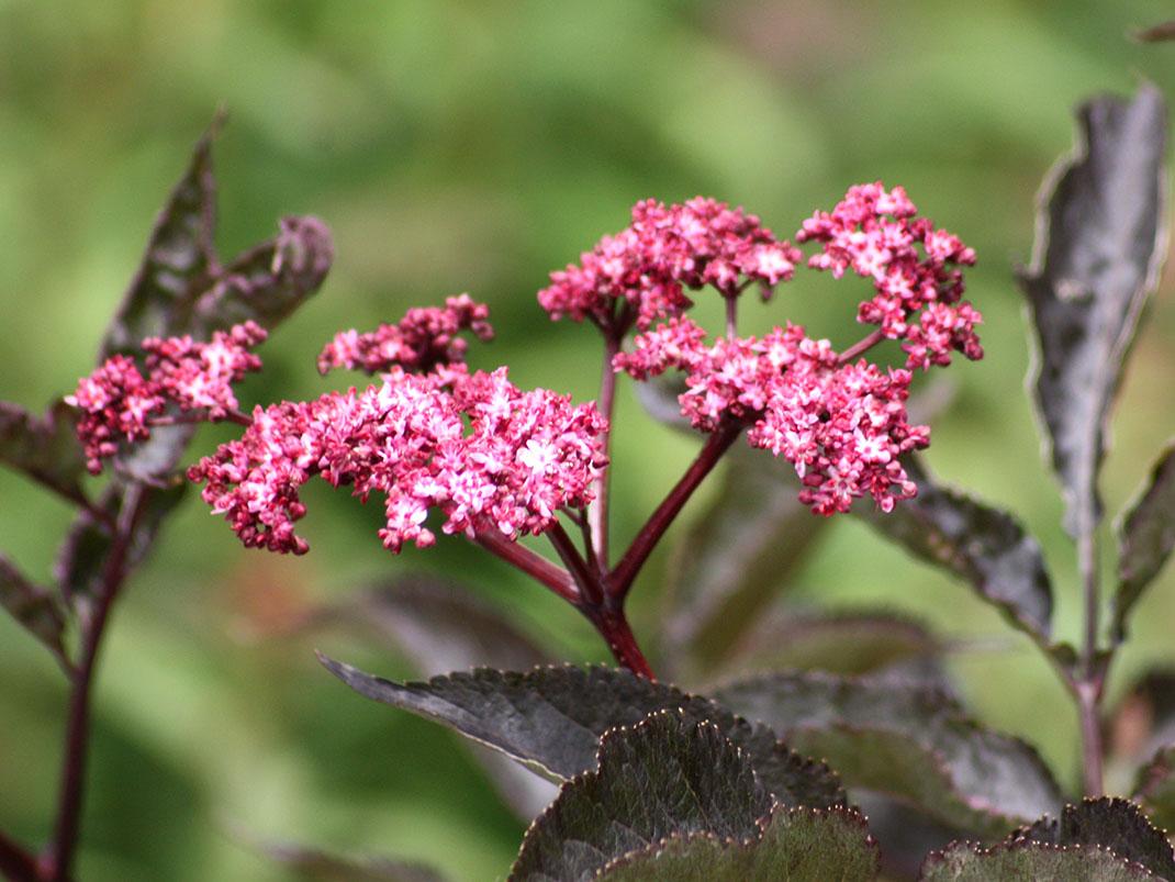 bez czarny black beauty kwiaty