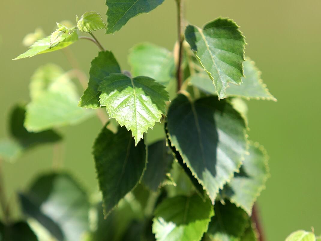 brzoza papierowa liście