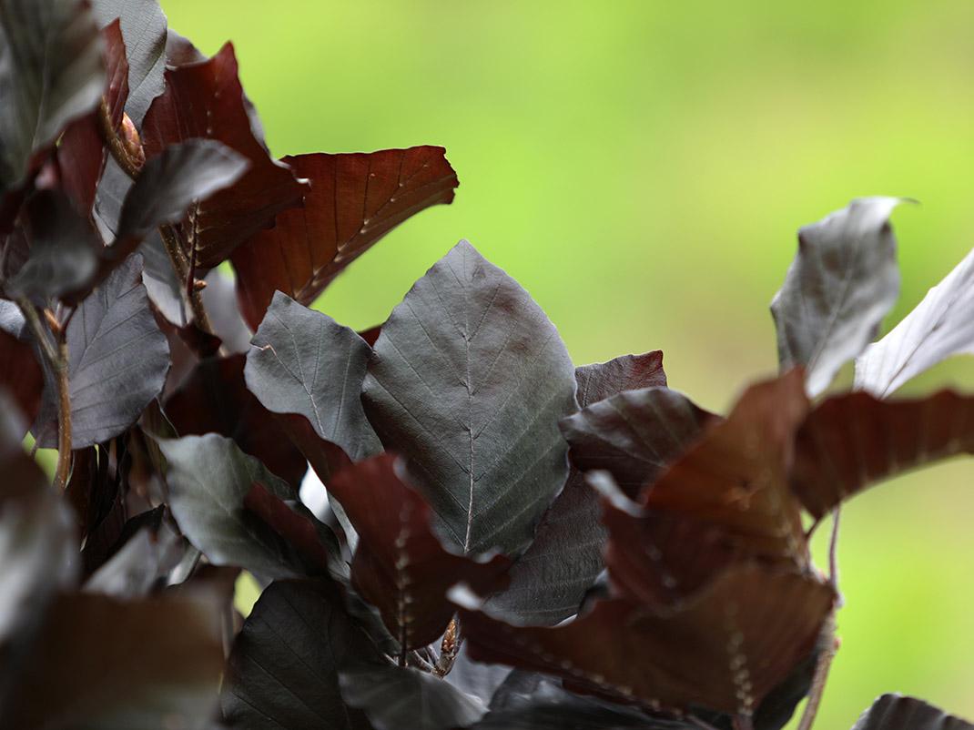 Buk zwyczajny Dawyck Purple liście
