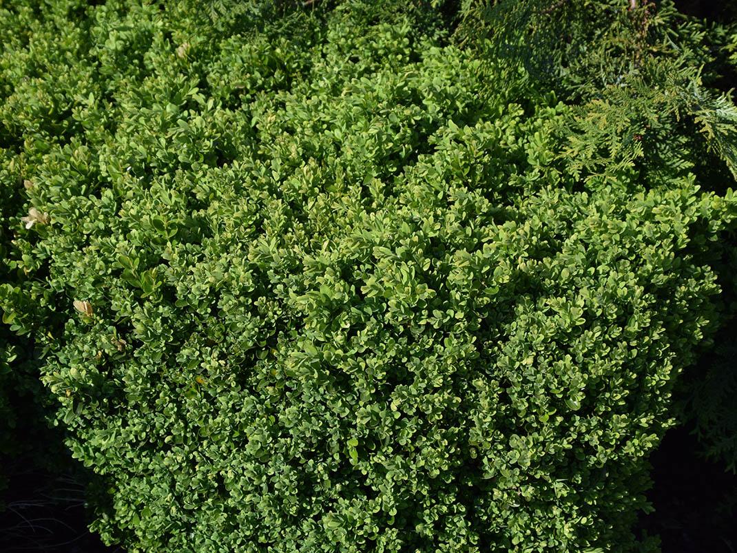 Bukszpan wiecznie zielony Suffruticosa