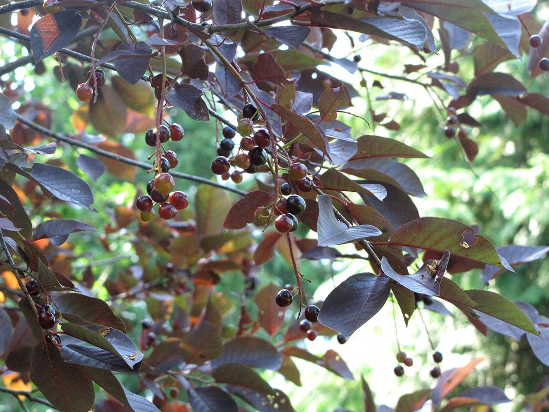 czeremcha shubert owoce