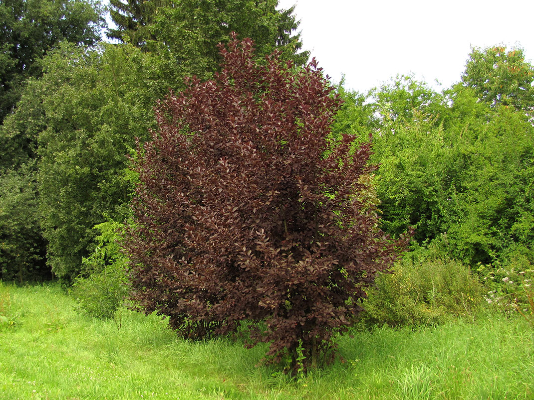 czeremcha pospolita colorata
