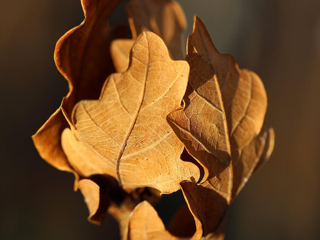 dąb szypułkowy facrist liść