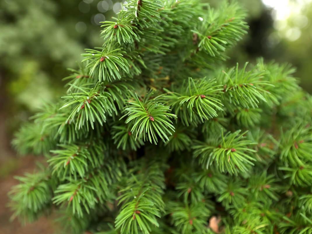 daglezja zielona stammberdling