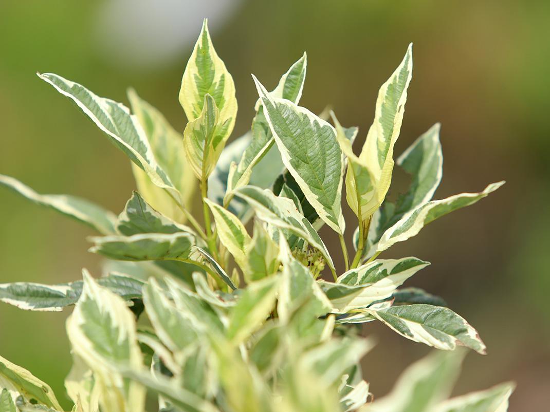 dereń rozłogowy white gold liście
