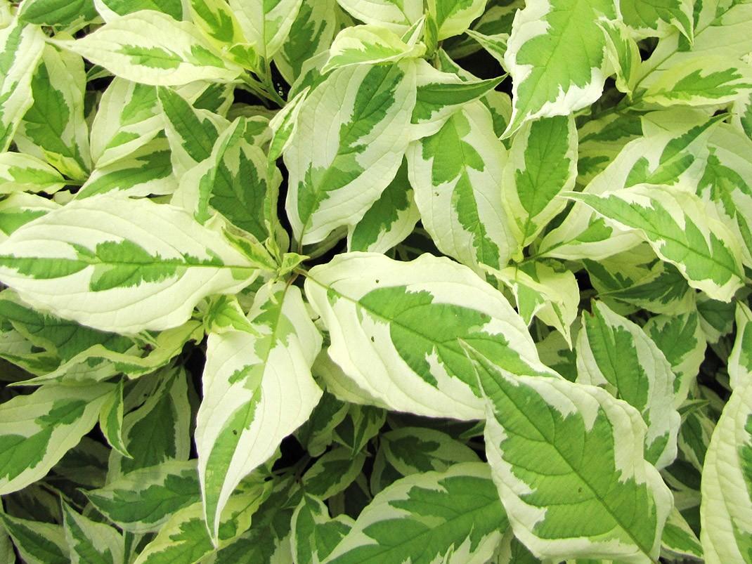 dereń biały elegantissima liście