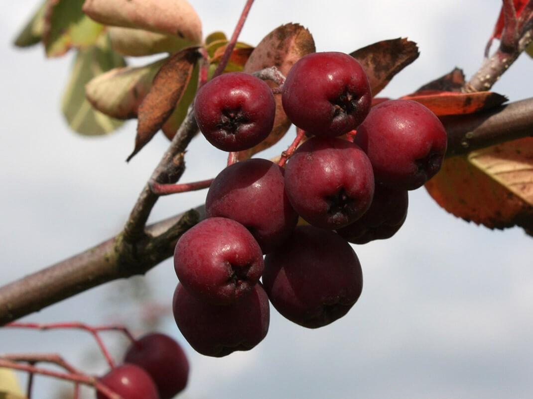 jarząb granatnaja owoce