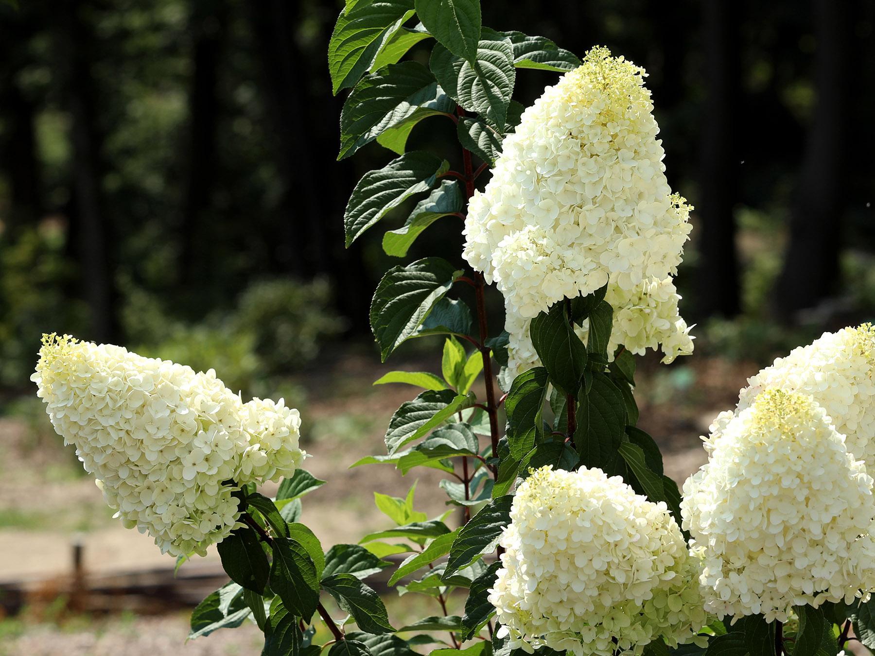 Uprawa hortensji bukietowej - uprawa, cięcie, przesadzanie, pielęgnacja i odmiany