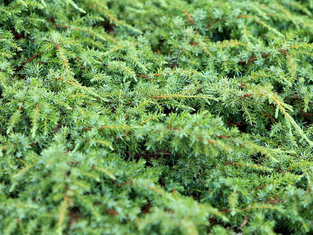 jałowiec pospolity green carpet