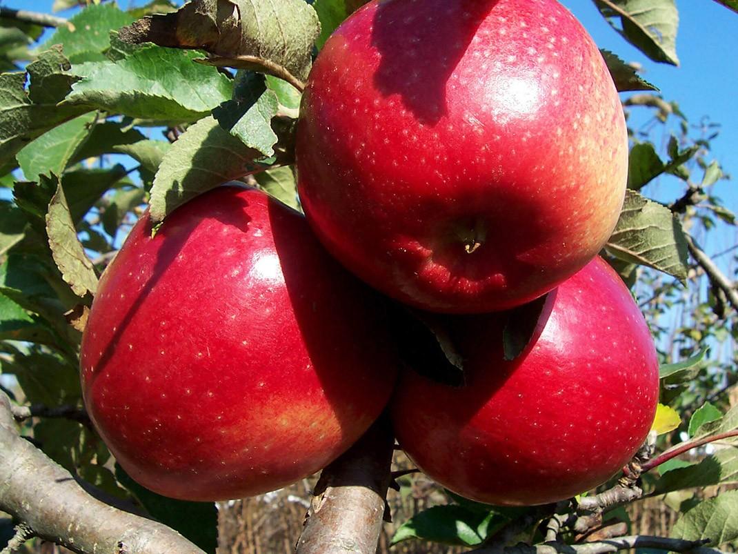 jabłoń ligol owoce
