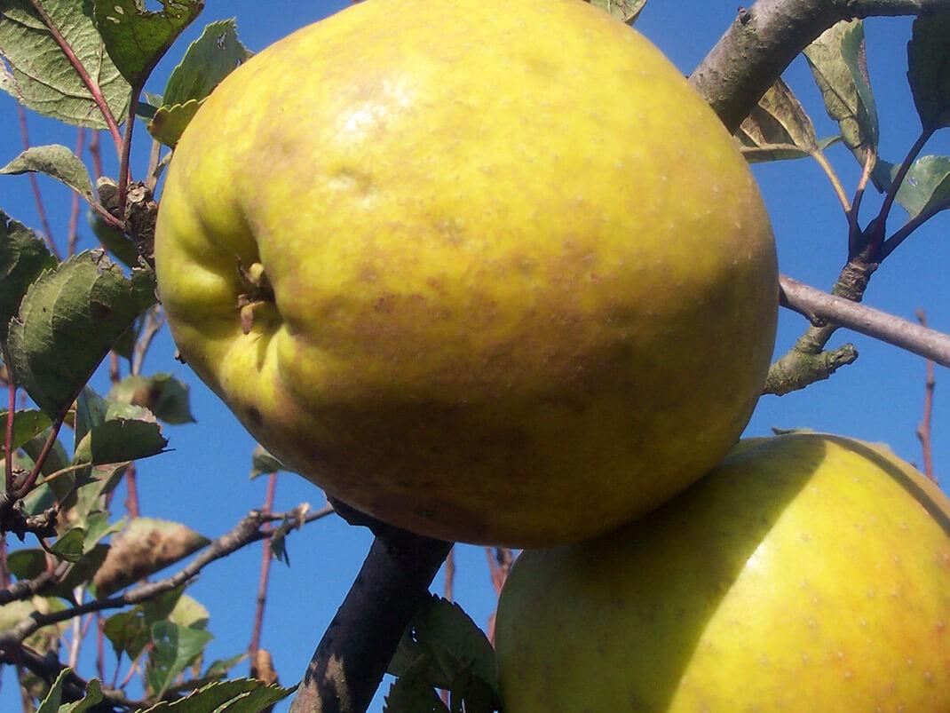 jabłoń szara reneta owoce