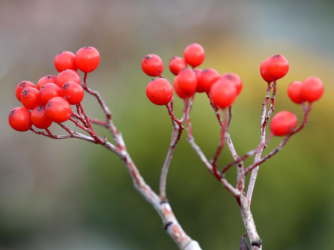 jarząb dalekowschodni carmencita owoce