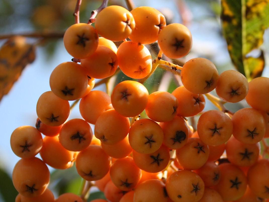 jarząb owoce