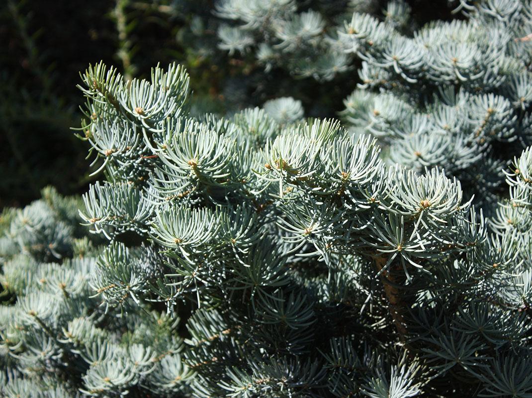 jodła kalifornijska violacea fastigiata igły