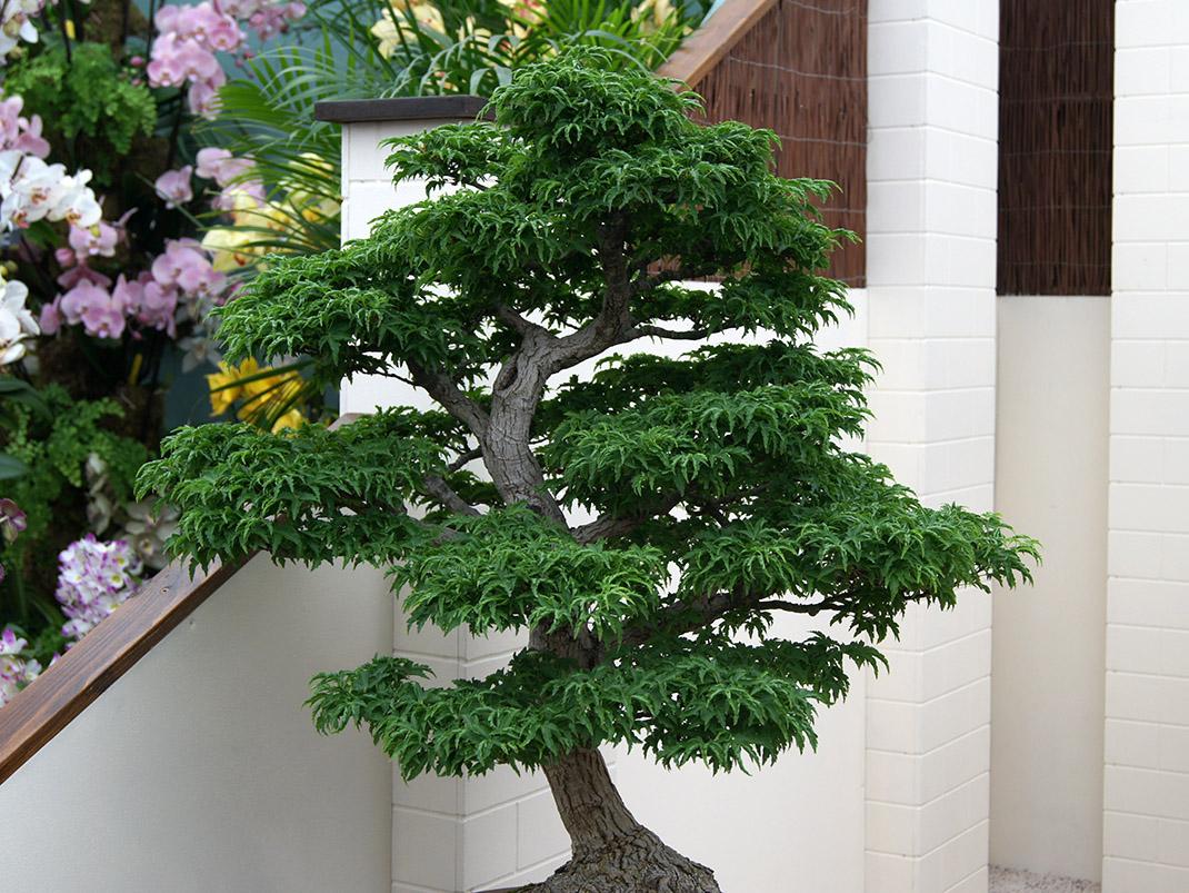 Klon palmowy Shishigashira bonsai